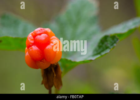 Closeup of ripe and delicious cloud berry - Stock Image