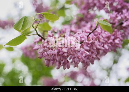 Cercis siliquastrum flowering in Spring. Judas tree. - Stock Image
