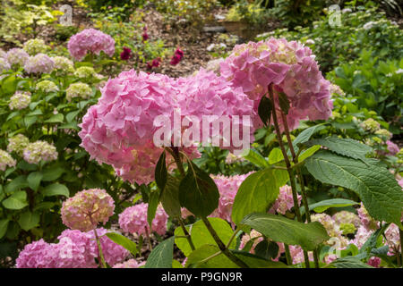 Mophead Hydrangea Generale Vicomtesse De Vibraye, normally a blue, but here in pink due to soil alkalinity - Stock Image