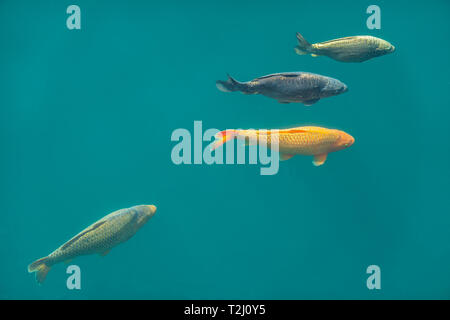 Carp,Swimming,Princes Quay,Shopping Centre, These fish are swimming in the original dock that the shopping centre has been built over. - Stock Image