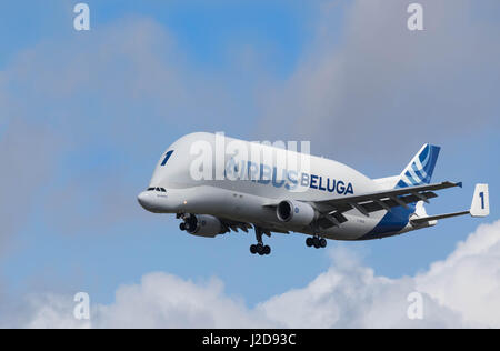 Hamburg, Germany - April 22, 2017: Beluga Transport Plane Number 1 is landing at the Airbus Plant in Hamburg Finkenwerder - Stock Image