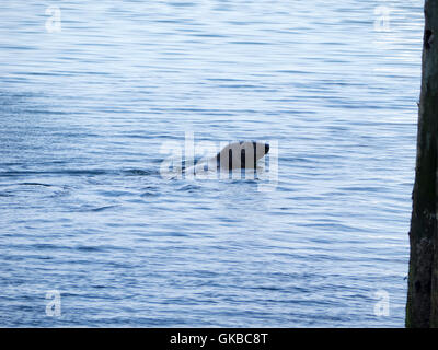 A gray seal, Halichoerus grypus, in Chatham Harbor on Cape Cod, Chatham, Massachusetts. Also know as a grey seal - Stock Image