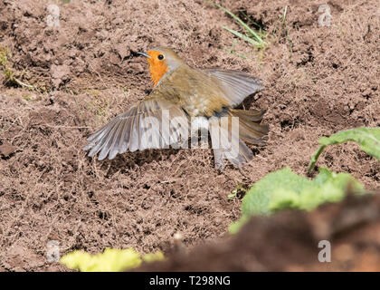 Stirlingshire, UK. 31st Mar, 2019. UK weather - a robin sunbathing or sunning on a warm dry spring day in Stirlingshire.  It is thought that spreading out the feathers in the sun in this way helps preen oil to spread across the feathers, and also to dislodge feather parasites Credit: Kay Roxby/Alamy Live News - Stock Image