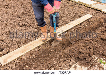 Gardener digging a trench in preparation of planting potatoes - Stock Image