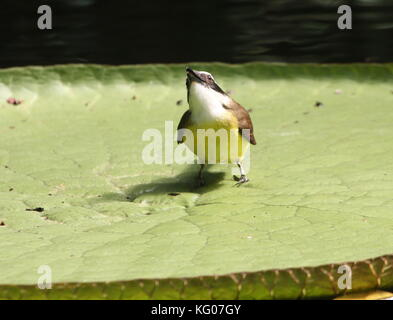 South American Great Kiskadee (Pitangus sulphuratus) walking on a leaf of a Giant Amazon Water Lily. - Stock Image