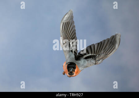Gimpel, Dompfaff, Männchen, Flug, Flugbild, fliegend, Pyrrhula pyrrhula, Eurasian bullfinch, bullfinch, male, flight, flying, Bouvreuil pivoine - Stock Image
