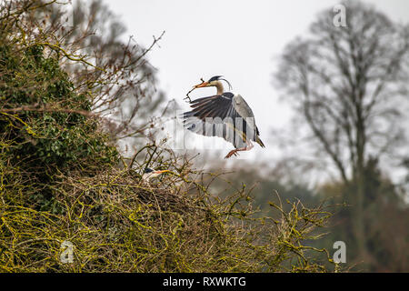 Male Grey Heron bringing nesting material while female sits on eggs. - Stock Image