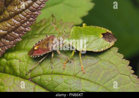 Hairy Shieldbug on left and Common Green Shieldbug on right. Tipperary, Ireland - Stock Image