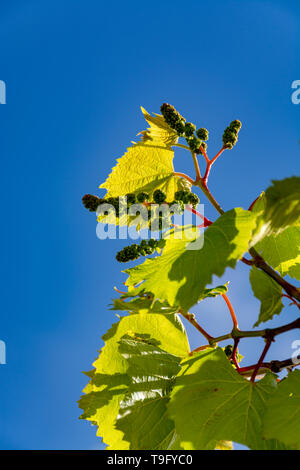 One young grape vine with small green grapes on blue sky background - Stock Image