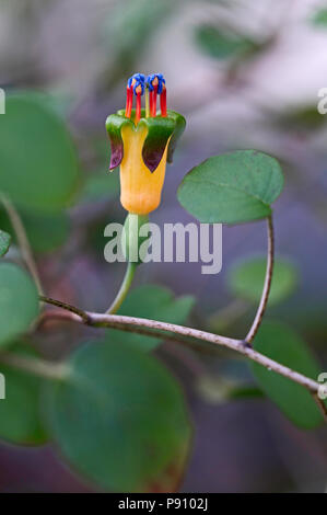 Close up of the colourful Fuchsia procumbens - Stock Image