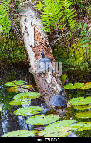 Two turtles on log in Okefenokee swamp: Species IDs are in additional info. category. (p. nelsoni & p. floridana). - Stock Image