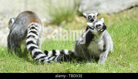 Olomouc, Czech Republic. 31st May, 2019. The Ring-tailed lemur offspring are introduced in Olomouc zoo, Czech Republic, May 31, 2019. Credit: Ludek Perina/CTK Photo/Alamy Live News - Stock Image