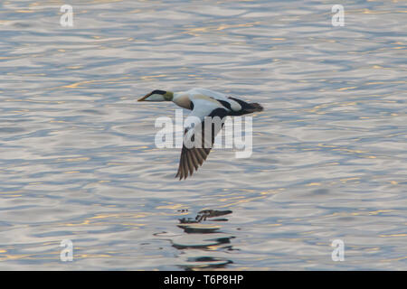 Male Eider duck flying low over the sea at Mousehole Cornwall - Stock Image