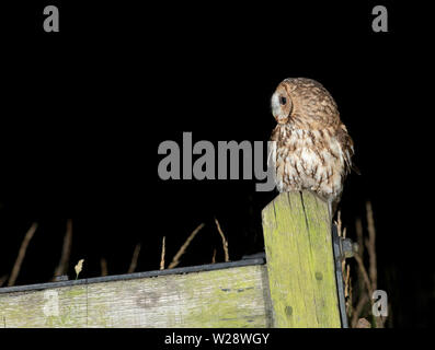 Wild Tawny Owl (Strix aluco) perched on wooden gate post, Lincolnshire - Stock Image