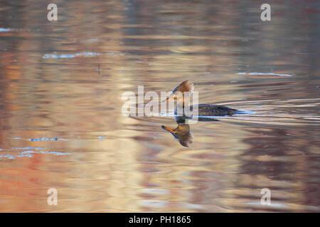 A female hooded merganser on water. - Stock Image