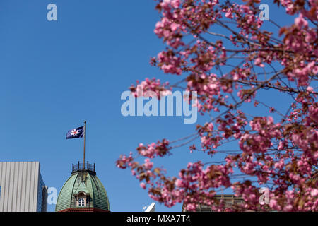 Japan's Hokkaido region flag in focus wavering atop Sapporo's Former Government Building, framed by out-of-focus cherry blossoms in the foreground. - Stock Image