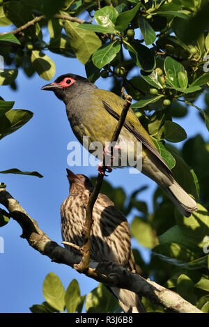 An Australian, Queensland Male and Female Figbird ( Sphecotheres viridis ) perched on a tree branch - Stock Image
