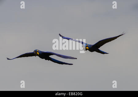 Hyacinth Macaw (Anodorhynchus hyacinthinus) flying over Pantanal, Mato Grosso do Sul, Brazil - Stock Image