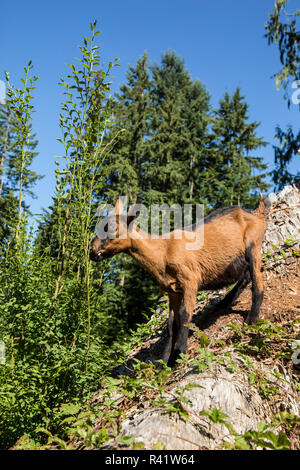 Issaquah, Washington State, USA. 11 week old Oberhasli goat eating blackberry bush vines on a hillside. (PR) - Stock Image