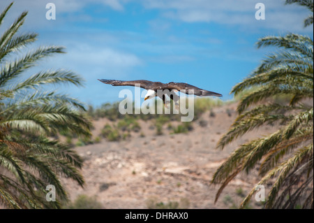 American bald eagle flying between trees - Stock Image