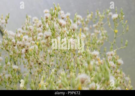 Lettuce seedhead, Wales, UK. - Stock Image