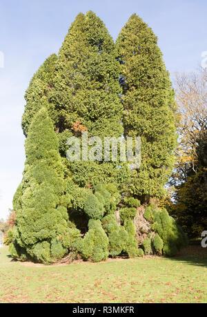 Lawson cypress tree, Chamaecyparis Lawsoniana, National arboretum, Westonbirt arboretum, Gloucestershire, England, UK -'Pottenii' - Stock Image