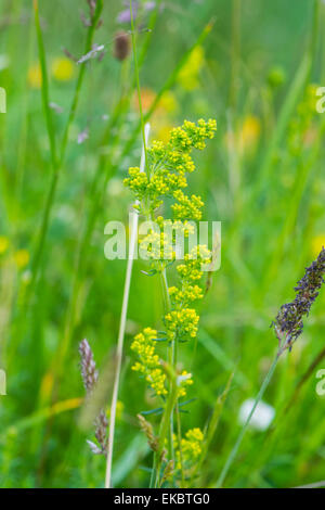 Ladys bedstraw Galium verum, Cressbrook Dale NNR Peak District National Park June 2014 - Stock Image