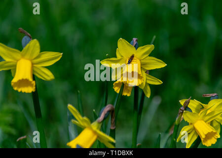 Spring daffodil yellow vibrant wild flowers - Stock Image
