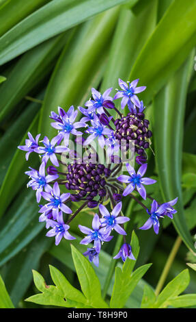 Portrait (vertical) of a Portuguese Squill (Scilla peruviana), AKA Cuban lily, flowering in a garden in Spring (May) in West Sussex, England, UK. - Stock Image