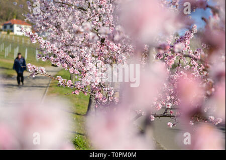 Gimmeldingen, Germany. 21st Mar, 2019. A passer-by passes flowering almond trees. The Gimmeldinger Mandelblütenfest will take place next weekend (23./24.03.2019). Credit: Uwe Anspach/dpa/Alamy Live News - Stock Image