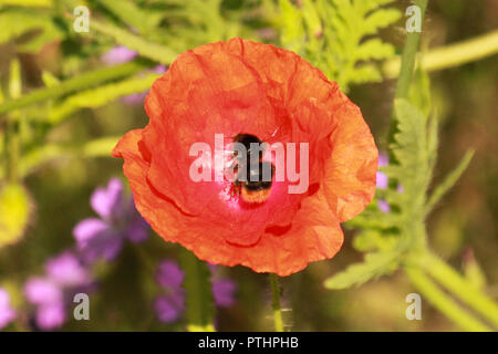 Bumblebee sat in the middle of a poppy. - Stock Image