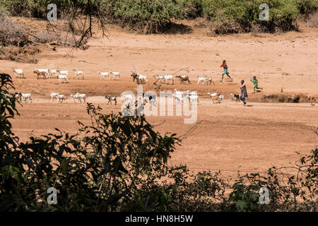 Samburu Maasai living in villages near the Buffalo Springs Game Reserve bring their herds to graze within the reserve. - Stock Image