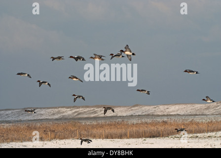 European Wigeon (Anas penelope) flying over coastal marsh in Britain during winter snows - Stock Image