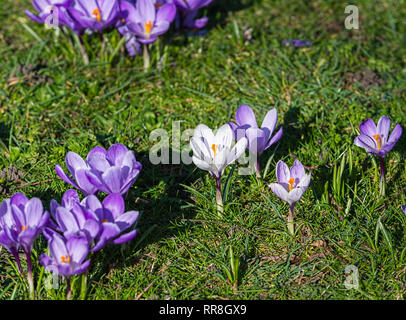 Purple crocus sativus flowering in Regents Park London UK - Stock Image