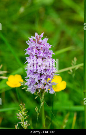 Common spotted orchid, Peak District, Dactylorhiza fuchsii - Stock Image