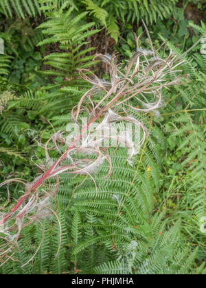 Seeds of Rosebay Willowherb [Epilobium angustifolium] and invasive weedin the UK, the seeds carried by the wind. - Stock Image