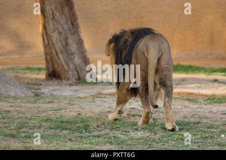 back of lion walking on the grass in zoo - Stock Image