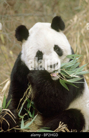 Giant panda feeding on bamboo, Wolong, China. - Stock Image