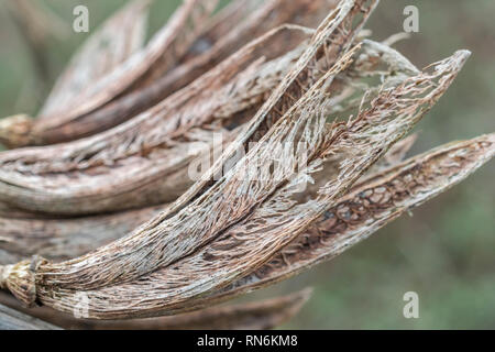 Old seed pod skeletons of an unidentified variety of Yucca - possibly Yucca filamentosa - growing in Cornwall, UK. UK exotic plants concept. - Stock Image