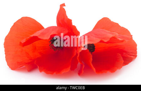Poppy flower over white background - Stock Image