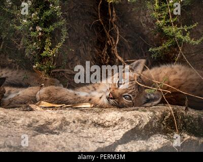 A lynx cub relaxes in the shade of a tree - Stock Image