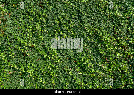 ivy on the wall - Stock Image