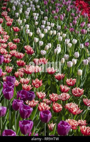Solid coloured Tulips plants. Spring blooming perennial herbaceous flower. Exist in a multitude of colours, Popular as cut flowers. - Stock Image