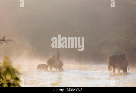 Working elephant (Elephas maximus indicus) crossing a river at dawn, Chitwan National Park, UNESCO World Heritage Site, Nepal, Asia - Stock Image