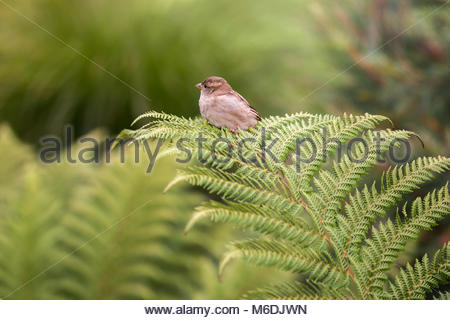 Sparrow sitting on a fern frond, Canterbury, New Zealand - Stock Image
