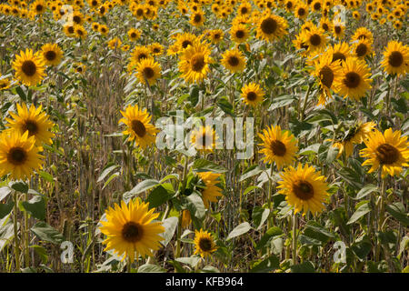 Field of sunflowers (Helianthus Annuus), Barrrow in Humber, Lincolnshire - Stock Image