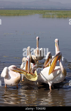 White Pelicans Pelecanus onocrotalus Flock Feeding - Stock Image