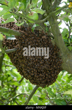A Swarm of Honey Bees in an Apple Tree - Stock Image