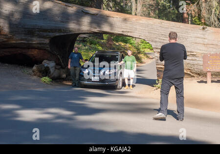 Sequoia National Park. Posing with the car and driving through Tunnel Log - Stock Image