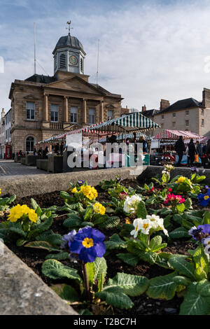 Kelso Farmers' Market, Scottish Borders, with the town hall and February primroses - Stock Image